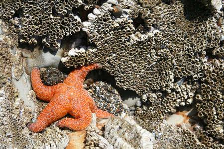 barnacles: Orange stella [stella di mare] con anemoni e LEPADI, Oregon costa