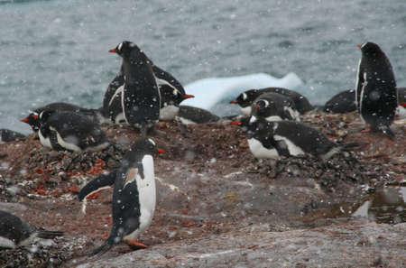 pinguinera: Colonia de ping�inos Gentoo, de anidaci�n de aves, la luz tormenta de nieve, [Pygoscelis papua] Cuverville Island, Ant�rtida  Foto de archivo