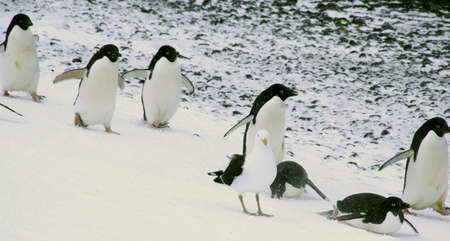 Adelie penguins sliding and hopping to the beach, white arctic gull. [Pygoscelis adeliae] Brown Bluff, Antarctica   photo
