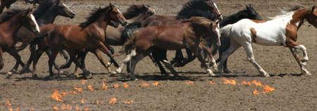 馬の実行は、火災サークル、カルガリーのスタンピード、アルバータ州、カナダ