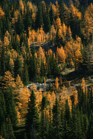 canmore: Autumn, orange larches & conifers, Burstall pass,Canadian Rockies,Kananaskis, Canmore, Banff, Alberta, Canada