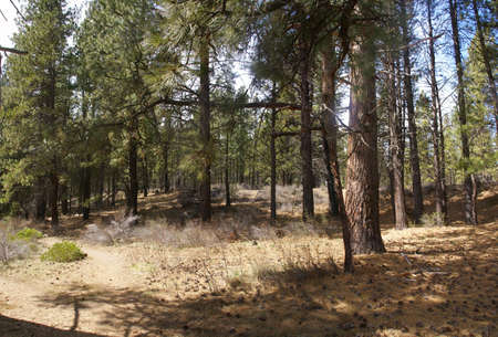 ponderosa pine: Panorama, ponderosa pines and forest floor,  Deschutes River trail, Central Oregon   Stock Photo