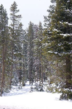 ponderosa pine: Late spring snow on pine forest,   Central Oregon   Stock Photo