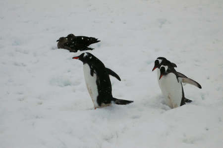 waddling: Three Gentoo penguins, waddling towards the water, with skuas in background