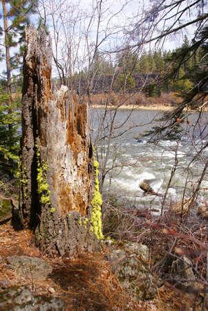 ponderosa: Ponderosa pine stump with lichens,  Deschutes River trail, Central Oregon   Stock Photo