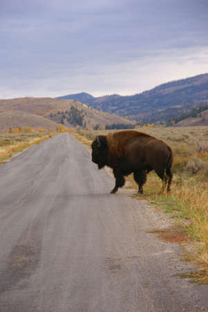 wherever: Single bull bison walking wherever he wants, crossing road [Bison bison] Grand Teton National Park, Wyoming   Stock Photo