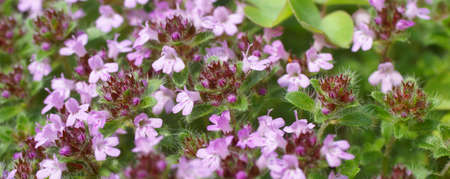 Detail, flowering thyme, late spring,   Seattle, Pacific Northwest