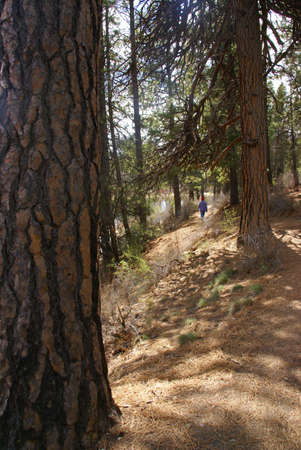 ponderosa pine: Hiker on trail with Ponderosa pines and river canyon,  Deschutes River trail, Central Oregon   Stock Photo