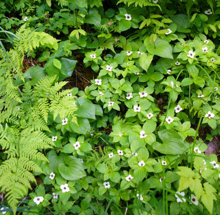 양치과 Bunchberry, [Cornus canadensis], 난쟁이 dogwood 주노, 알래스카 스톡 콘텐츠