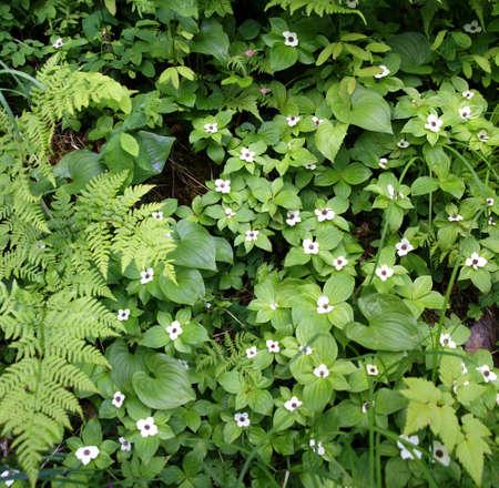 Ferns and Bunchberry, [Cornus canadensis], dwarf dogwood Juneau, Alaska