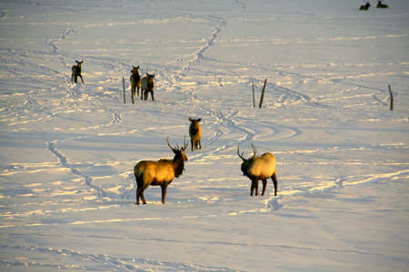 Elk in snow, crossing ranch pasture at sunset  Kremmling, Colorado  photo