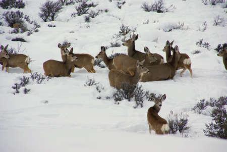 Mule deer herd in deep snow,  Cordillera, Colorado   photo
