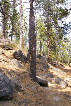 ponderosa pine: Ponderosa pines along forest trail,  Shevlin Park, Central Oregon