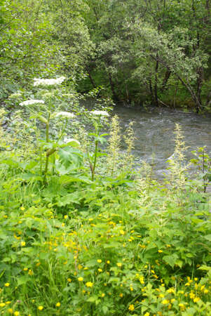 Queen Anne's Lace and other wildflowers alongside mountain stream, Dewet Lakes trail, Juneau, Alaska 스톡 콘텐츠