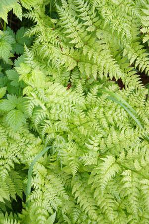 underbrush: Ferns and underbrush, Dewet Lakes trail, Juneau, Alaska
