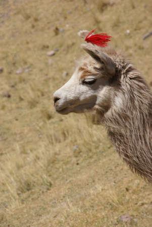 Llama, grazing on high meadow,Cusco,Peru, South America  Stock Photo - 3537531
