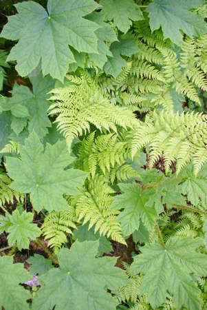 underbrush: Ferns and underbrush, Perseverance Trail,  Juneau, Alaska