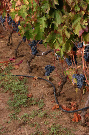 Clusters of grapes, ripening in vineyard,  Sardinia Italy