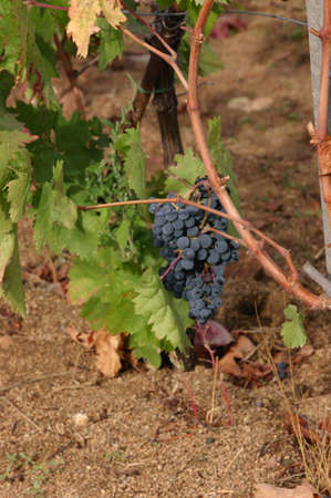 Cluster of grapes, ripening in vineyard,  Sardinia Italy  Stok Fotoğraf