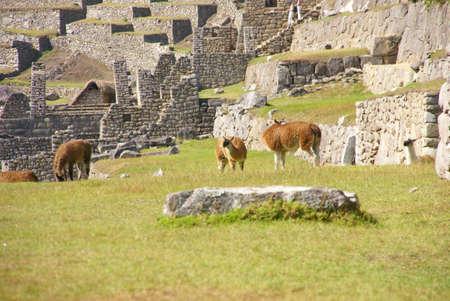 Llamas grazing on terraced plazas, Inca ruins  Machu Picchu, Peru, South America   photo