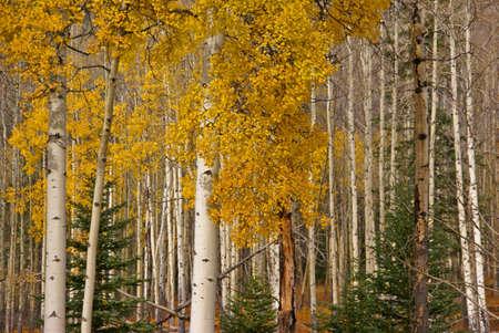 White trunks of aspen, autumn,  Banff, Alberta, Canada   photo