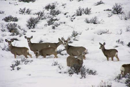 Mule deer herd in deep snow,Cordillera,Colorado