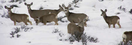 Mule deer herd in deep snow,  Cordillera, Colorado   photo