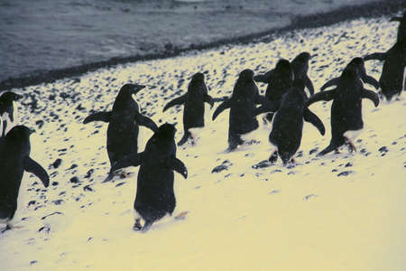 March of the Penguins Adelie penguins, moving down to the shoreline, [Pygoscelis adeliae] Brown Bluff, Antarctica   photo