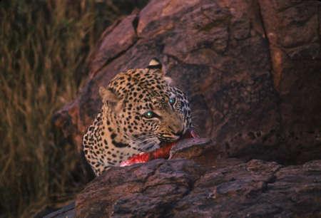 okonjima: Leopard lit by flash eating kudu,  Okonjima,  Namibia, Africa
