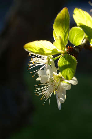 Spring blossoms, plum tree flower detail, backlit,    Seattle, Pacific Northwest