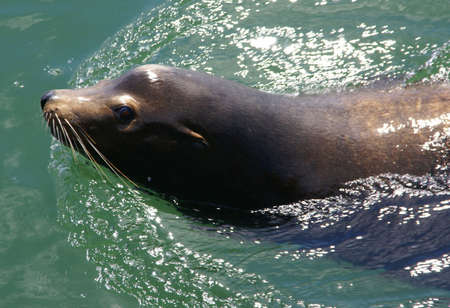 pinniped: California Sea Lion, swimming in harbor,  [Zalophus californianus],  Newport, Oregon Coast