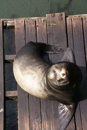 Portrait, California Sea Lion, on wharf,  [Zalophus californianus],  Newport, Oregon Coast