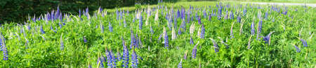 lupines: Lupines in a field,  Mount Desert Island, Acadia National Park,  Maine