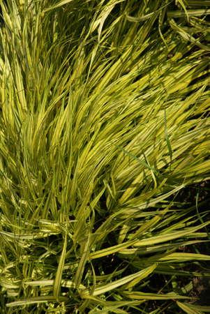 シアトルの庭で背の高い草の詳細