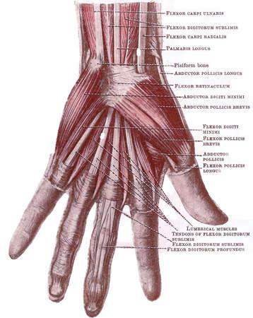 Dissectie van de hand - oppervlakkige spieren en tnedons in de palm, van een begin van de 20e eeuw anatomie leerboek, van copyright