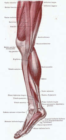 Dissection of the leg, muscles of the knee, leg and foot from medial side from an early 20th century anatomy textbook, out of copyright     Stock Photo