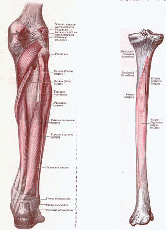 leg muscle fiber: Dissection of the leg, muscles and attachments, from an early 20th century anatomy textbook, out of copyright     Stock Photo