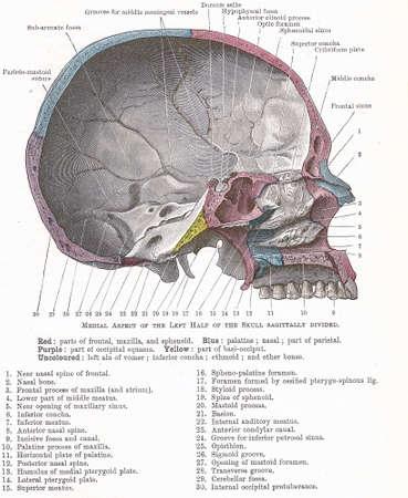 Ontleding van het menselijk hoofd - mediale aspect van de linkerkant van de schedel, sagitally verdeeld; van een vroeg 20e eeuwse anatomie leerboek, van het auteursrecht