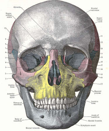 Dissection of the human head - front of skull;	from an early 20th century anatomy textbook, out of copyright