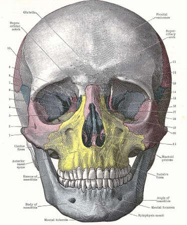 Dissectie van de menselijk hoofd - voorzijde van schedel; van een vroege 20e eeuw anatomie leerboek, van copyright
