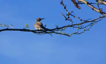 flicker: Red Shafted Flicker perched in hardwood tree,  Northern Flicker (Colaptes auratus)   Central Oregon   Stock Photo
