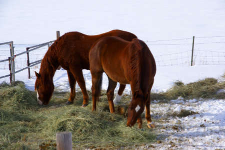 Pair of brown horses grazing in winter pasture,  near Baggs, Wyoming, Rocky Mountain west   photo