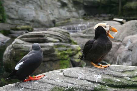 Tufted puffin, and Pigeon Guillemot [Lunda cirrhata], [Cepphus columba] Aquarium, Newport,  Oregon coast