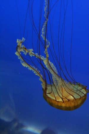 stingers: Jellyfish, swimming upside down in tank   Aquarium, Newport,