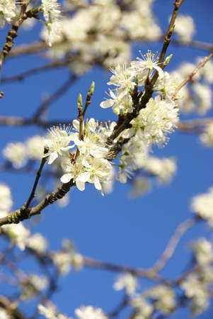 Spring blossoms, plum tree flowering against blue sky    Seattle, Pacific Northwest Фото со стока