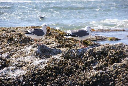 潮が出る、オレゴン州の海岸とビーチでのカモメの群れ