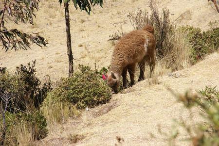 wooly: Llama, grazing on high meadow,  Cusco, Peru, South America