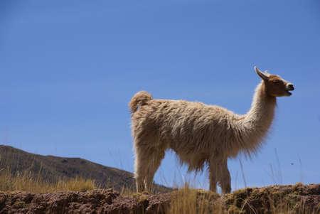 wooly: Llama with blue sky,  grazing on high meadow,  Cusco, Peru, South America