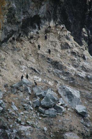 Cormorants nesting on rocky cliffs,   Almirante Brown, Antarctica
