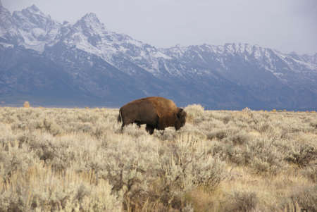 wants: Single bull bison walking wherever he wants,, [Bison bison] Grand Teton National Park, Wyoming Stock Photo